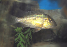 gymnogenys gymnogeophagus obraz royalty free