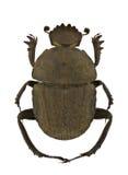 Gymnopleurus umbrinus. Isolated on a white background royalty free stock image