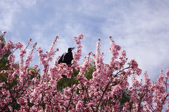 Free Gymnorhina Tibicen Bird On Pink Flowers Tree Royalty Free Stock Photography - 28916437