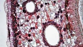 Gymnosperm Stem: Cork and Cortex in Three Year Pinus Stock Images