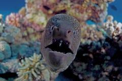 Gymnothorax javanicus Arkivfoto