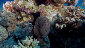 Gymnothorax javanicus. Or Giant moray in the Red sea Royalty Free Stock Photos