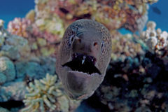 Gymnothorax javanicus Stock Photo
