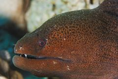 Gymnothorax javanicus - Moray eel - Red Sea Royalty Free Stock Photography
