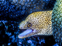 Free Gymnothorax Miliaris, Goldentail Moray Royalty Free Stock Images - 94096409