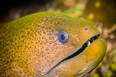 Gymnothorax Moray eel swimming in Bunaken Royalty Free Stock Photography