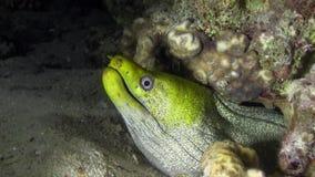 Gymnothorax undulatus ondeggiato di moray muray con il fronte verde nella notte stock footage