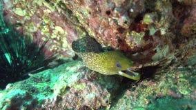 Gymnothorax undulatus ondeggiato di moray nel golfo della Fujairah UAE Oman stock footage