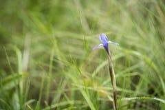 Gynandriris sisyrinchium dziki kwiat w naturze na zielonym tle (Barbary dokrętka) Obraz Stock