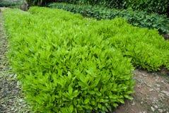 Gynura crepidioides Benth des Gemüses bei Hainan, China Lizenzfreie Stockfotos