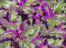 Gynura plant detail. Detail shot of some green Gynura leaves with violet fluff Stock Photo