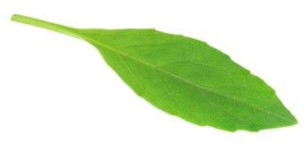 Gynura procumbens known as longevity spinach Stock Image