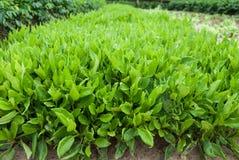 Gynuracrepidioides Benth av grönsaken på Hainan, Kina Arkivbilder