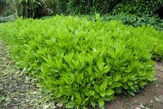 Gynuracrepidioides Benth av grönsaken på Hainan, Kina Royaltyfri Foto