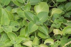 Gynuraprocumbens Fotografering för Bildbyråer