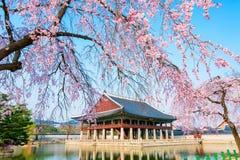 Gyongbokgung slott med den körsbärsröda blomningen i våren, Korea Fotografering för Bildbyråer
