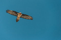GYPAETUS BARBATUS. Is FLYING in the blue sky Stock Images