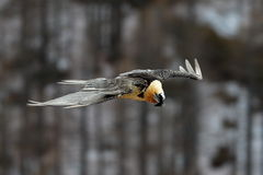 Gypaetus barbatus. Flying in sky Stock Images