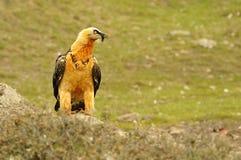 Gypaetus barbatus Stock Photo