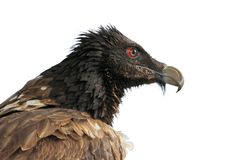 Gypaetus barbatus. Young bearded vulture Gypaetus barbatus in the reserve of Sarykum North Caucasus Royalty Free Stock Photos