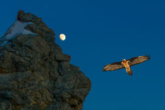 Gypaetus flying near a rock Royalty Free Stock Images