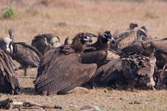Gyps bengalensis, white rumped vultures on a carcass , Lumbini, Nepal. Aegypius monachus, Gyps bengalensis, white rumped vultures on a carcass , Lumbini, Nepal stock photo