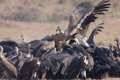 Gyps bengalensis, white rumped vultures eating carcass , Lumbini, Nepal Stock Image