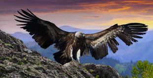 Gyps flying mountains. Big gyps carnivore bird with opened wings flying with mountings and rocks on background Stock Photo