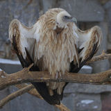 Gyps fulvus. In moscow zoo Royalty Free Stock Photo