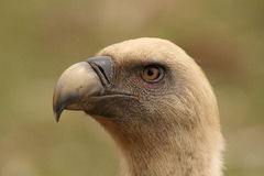 Gyps fulvus griffon vulture head portrait. In a green background Royalty Free Stock Photo