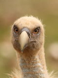 Gyps fulvus griffon vulture head portrait. Watching at the camera in a green background Stock Photo