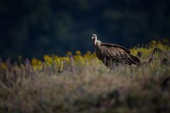 Gyps fulvus. The wild nature of Bulgaria. Free nature. A beautiful picture of nature. Rhodopes. Big bird. Mountains in Bulgaria. E. Uropean wildlife royalty free stock image