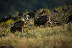 Gyps fulvus. The wild nature of Bulgaria. Free nature. A beautiful picture of nature. Rhodopes. Big bird. Mountains in Bulgaria. E. Uropean wildlife stock photography