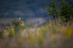 Gyps fulvus. The wild nature of Bulgaria. Free nature. A beautiful picture of nature. Rhodopes. Big bird. Mountains in Bulgaria. E. Uropean wildlife royalty free stock photography