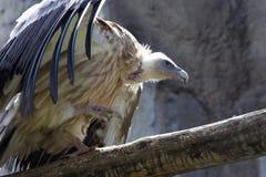 gyps himalayensis Zdjęcie Royalty Free