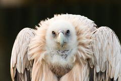 Gyps himalayensis, vulture. Sup The Himalaya looks for prey Royalty Free Stock Photos