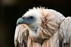 Gyps himalayensis, vulture. Sup The Himalaya looks for prey Stock Photography
