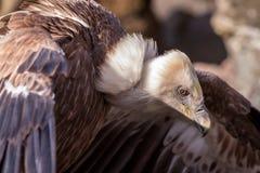 Gyps il fulvus, avvoltoio calvo Fotografie Stock