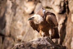 Gyps il fulvus, avvoltoio calvo Fotografia Stock