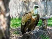 Gyps le himalayensis (le vautour de l'Himalaya) Photographie stock libre de droits