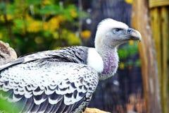 Gyps Rueppellii Vulture Portrait Detail Stock Photo stock photos