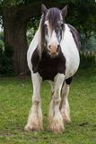 Gypse horse. Black and white gypse horse front view royalty free stock photo
