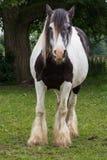Gypse-Pferd Lizenzfreies Stockfoto