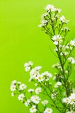 Gypsophila Royalty Free Stock Photography