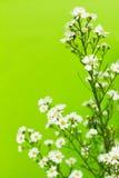 Gypsophila. White gypsophila on green background royalty free stock photography