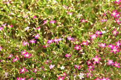 Gypsophila. A picture of pink gypsophila flowers in the garden stock images