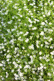 Gypsophila. A picture of white gypsophila flowers in the garden royalty free stock images