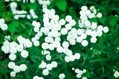 Gypsophila Stockfotos