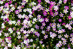 Gypsophila Stock Images