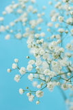 Gypsophila Stock Photo